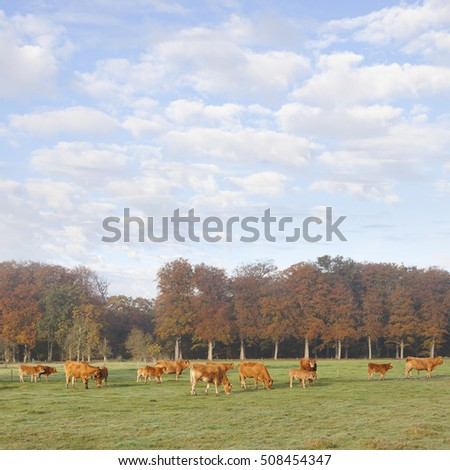 limousin cows in dutch meadow before autumn forest in warm morning light on utrechtse heuvelrug near Doorn