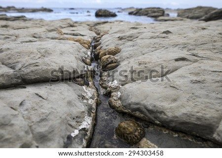 Limpets - stock photo