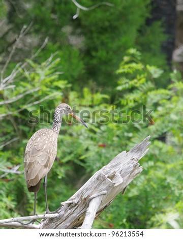Limpkin (Aramus guarauna) - stock photo