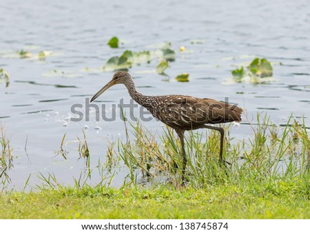 Limpkin out for Lunch - stock photo