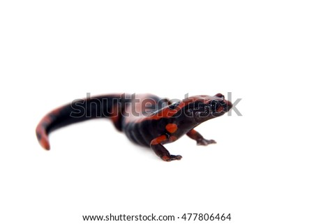 Lincolns Climbing Salamander on white