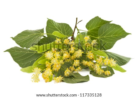 Linden branch with flowers isolated on white background - stock photo