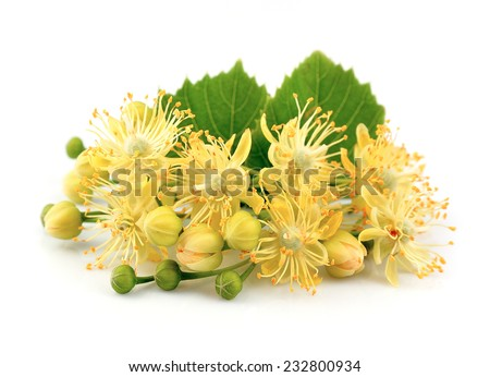 Linden flowers on a white background  - stock photo