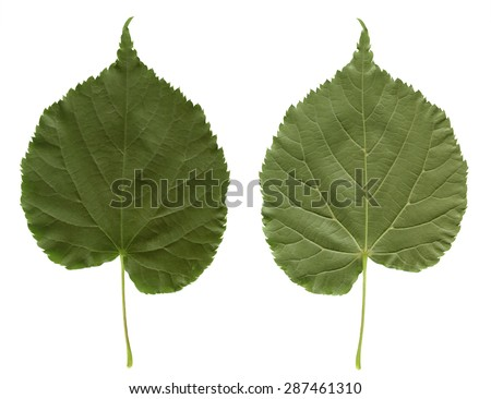 Linden leaf. Green plant isolated on white background. Front and back sides of one leaf. Photo for nature lovers or designs on the theme of deciduous trees. - stock photo