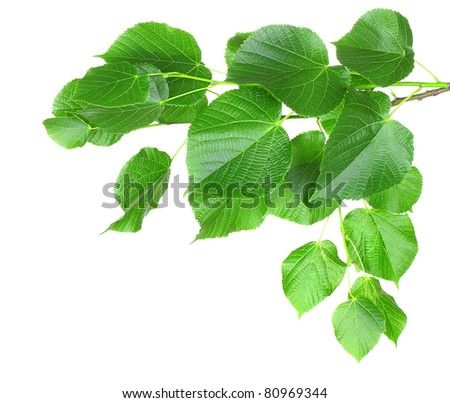 linden leaves isolated on white