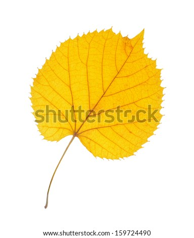 Linden leaves isolated on white background
