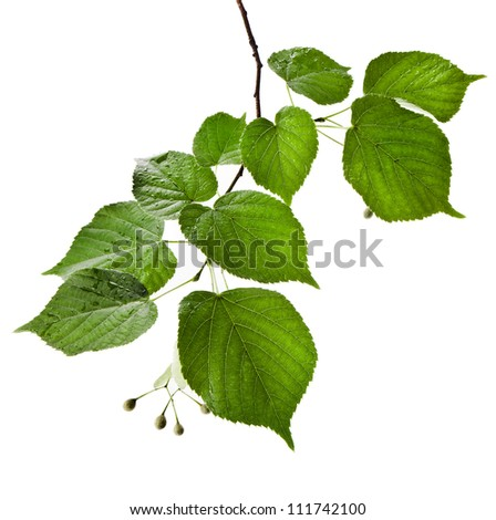 linden tree branch with water drops border isolated on white - stock photo