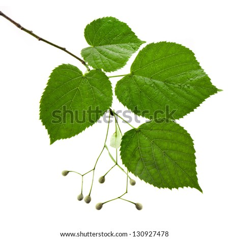 linden tree branch with water drops isolated on white background - stock photo