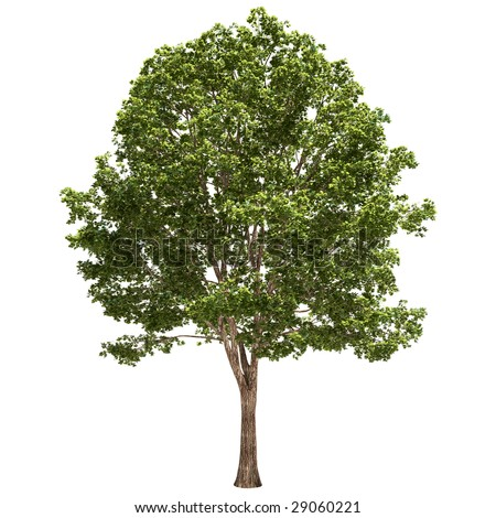 linden tree isolated