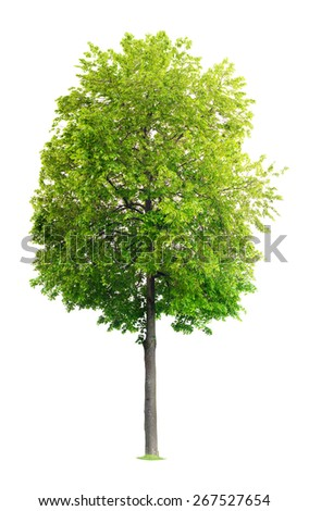 Linden Tree isolated on a white background - stock photo