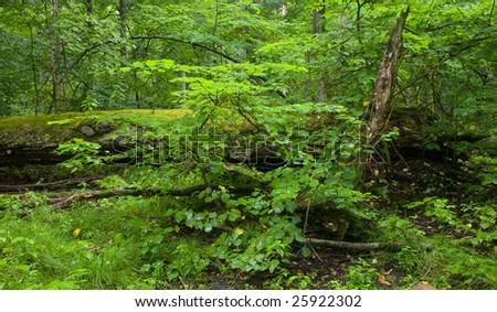 Linden tree wet leaves and broken oak moss wrapped lying in background at summer deciduous forest - stock photo
