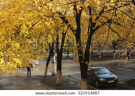 Linden with yellow leaves on autumn street after rain