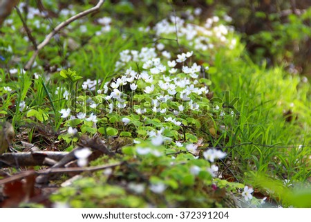 Line of forest flowers - snowdrops on the meadow in spring forest ( White anemone flowers).  - stock photo