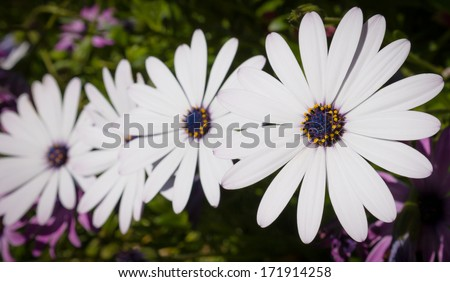 Line of four white daisies in a garden - stock photo