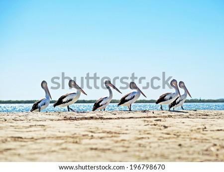 Line of pelicans on an Australian beach - stock photo