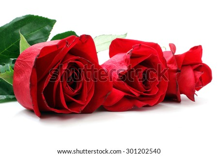 Line of red roses on a white background