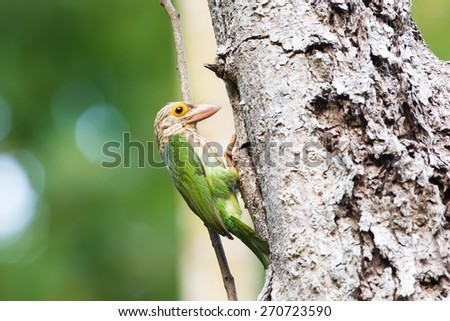 Lineated Barbet / Megalaima lineata the beautiful green bird - stock photo