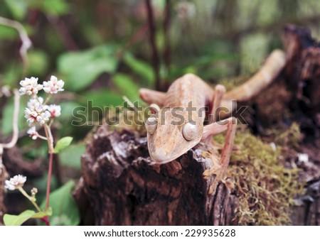 Lined leaftail gecko (Uroplatus), marozevo, madagascar - stock photo