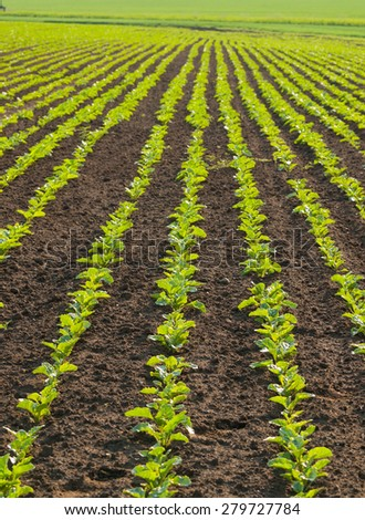 Lined pattern of the sugar beet plants on the field - stock photo