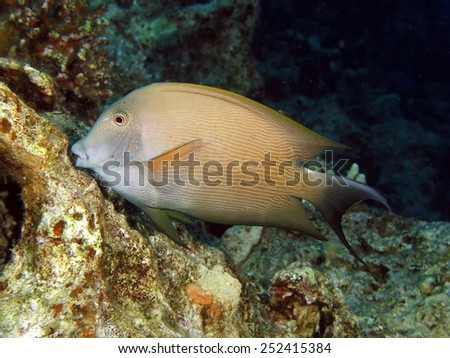 Lined surgeonfish feeding on coral reef