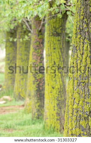 lined trees with lichen