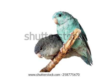 Lineolated parakeet couple, blue and mauve, on branch isolated - stock photo