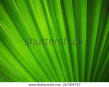 Lines and textures of Green Palm leaves, unfocused
