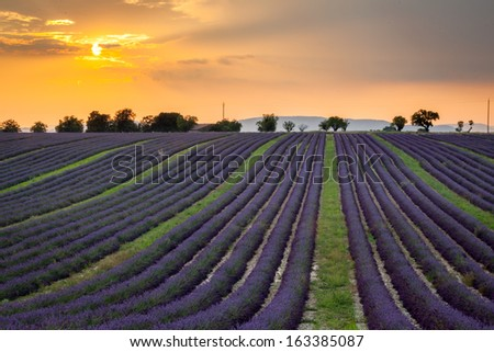 Lines of lavender near Valensole, Provence, France
