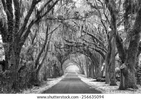 Lines of old live oak trees with spanish moss hanging down on a scenic southern country road in black and white or monochromatic - stock photo