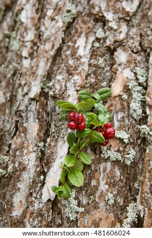 lingonberry berries on a background of pine bark
