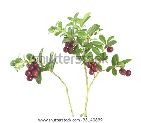 Lingonberry sprigs with ripe berries isolated on white background