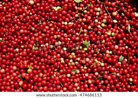 Lingonberry untidy background with leaves