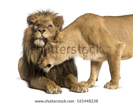Lion and lioness cuddling, Panthera leo, isolated on white - stock photo