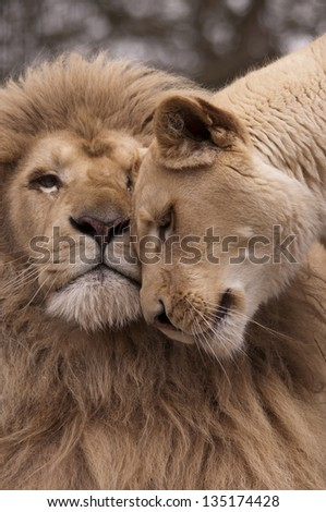 Lion and lioness nosing - stock photo