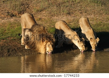 Lion and lionesses with tongues out drinking at the waterhole at sunset. - stock photo