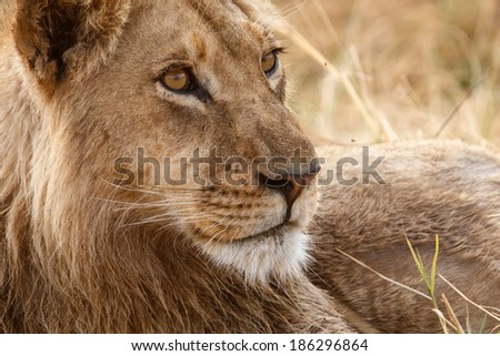 Lion at Okavango Delta - Moremi National Park in Botswana - stock photo