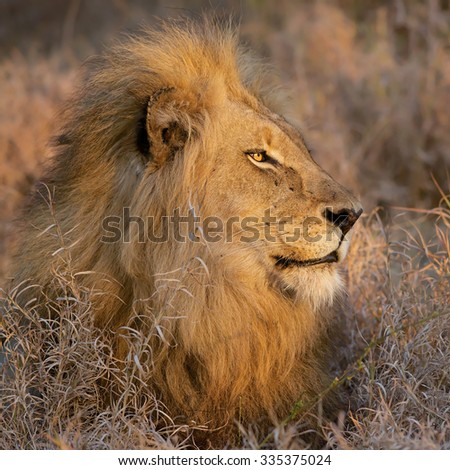 Lion, Balule Reserve, South Africa - stock photo