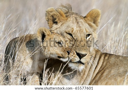 Lion bigbrother babysitting cub, Serengeti National Park, Tanzania, East Africa