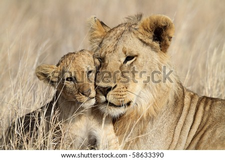 Lion bigbrother babysitting cub, Serengeti, Tanzania - stock photo