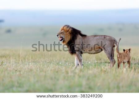 Lion Blacky of Rekero Pride with cub in Masai Mara, Kenya - stock photo