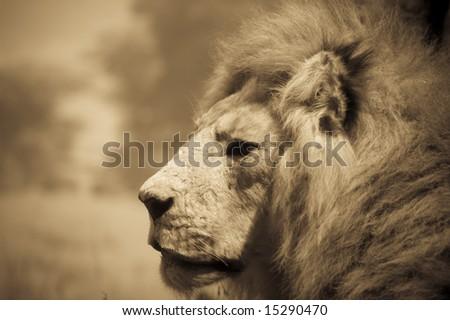 Lion close-up - stock photo