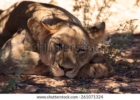 Lion close up - stock photo