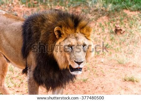 Lion close up at the Naankuse Wildlife Sanctuary, Namibia, Africa - stock photo
