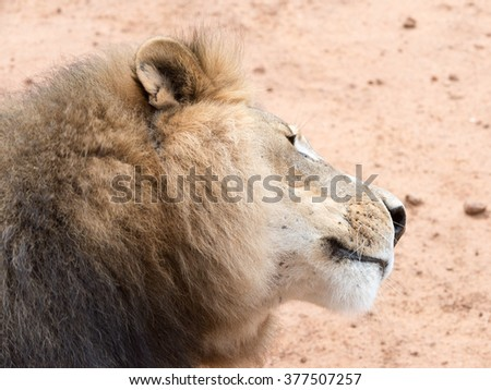 Lion close up at the Naankuse Wildlife Sanctuary, Namibia, Africa