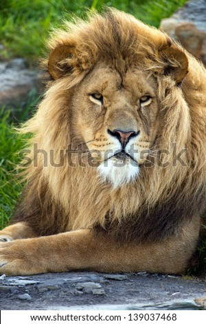 lion close up with mane blowing in the wind/Lion - stock photo