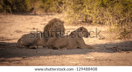 Lion couple after mating in Africa - stock photo
