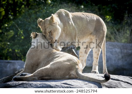 Lion couple rubbing each other lovingly sitting on a rock