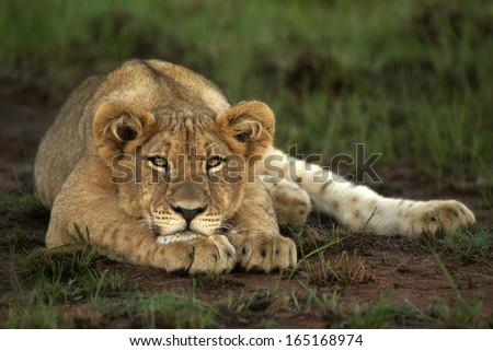 Lion cub eye level - stock photo