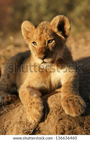 Lion cub in Africa - stock photo