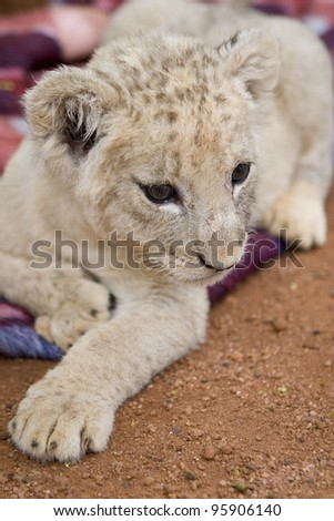 Lion cub (3 month). National park in South Africa.